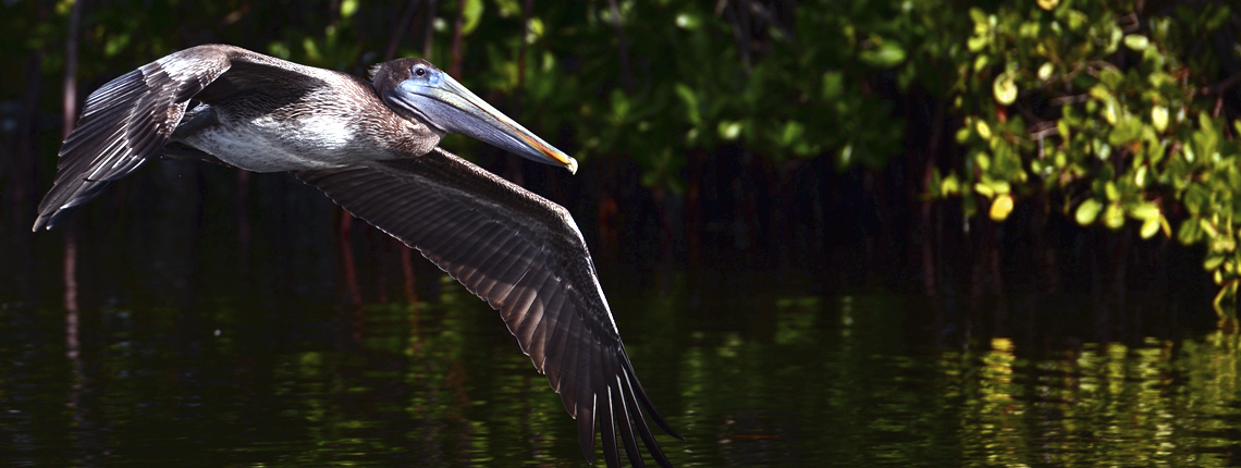 deering estate brown pelican