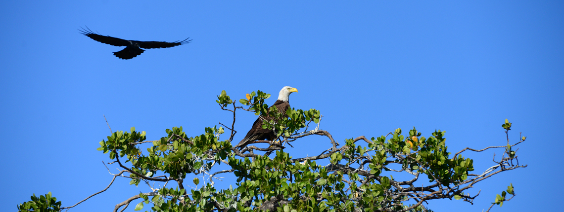 Deering Estate Bald Eagle perched on mangroves