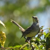 Bahama Mockingbird (Avocado Grove)