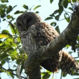 Barred Owl (Cutler Creek)