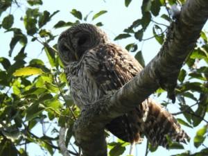 Barred Owl (Cutler Creek)