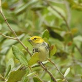 Black-throated Green Warbler (Carriage House)