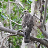 Broad-winged Hawk (NA Trail) bird