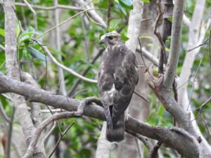 Broad-winged Hawk (NA Trail) bird