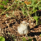 Chipping Sparrow Feeders