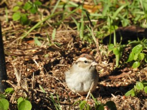 Chipping Sparrow Feeders Bird