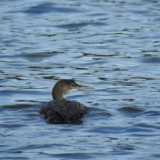 Common Loon bird gently swimming through the water