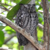 Eastern Screech Owl (Main Entrance)