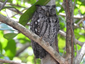 Eastern Screech Owl (Main Entrance)