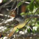 Great Crested Flycatcher Mango Grove Bird