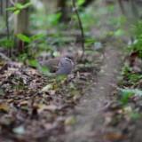 Key West Quail Dove by Elias NA Trail