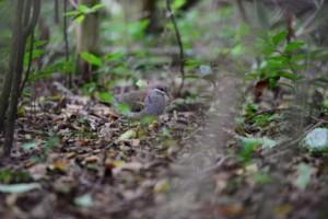 Key West Quail Dove by Elias NA Trail Bird