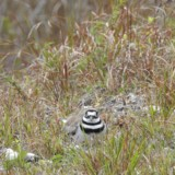 Killdeer on Nest Pump Station Bird