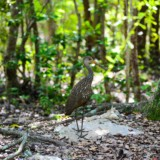 Limpkin by Elias South Addition Bird