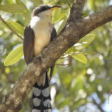 Mangrove Cuckoo (Avocado Grove)