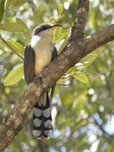Mangrove Cuckoo (Avocado Grove)