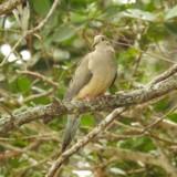 Mourning Dove (Pineland)