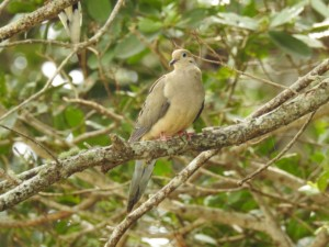 Mourning Dove (Pineland) bird