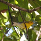 Prothonotary Warbler (Mango Grove)