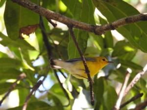 Prothonotary Warbler (Mango Grove) bird