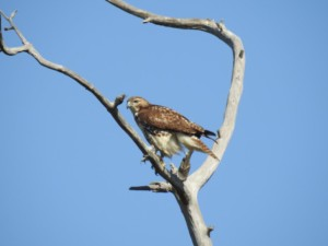 Red-tailed Hawk Pineland