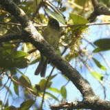 Yellow-bellied Flycatcher bird