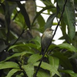Yellow-rumped Warbler Mango Grove bird