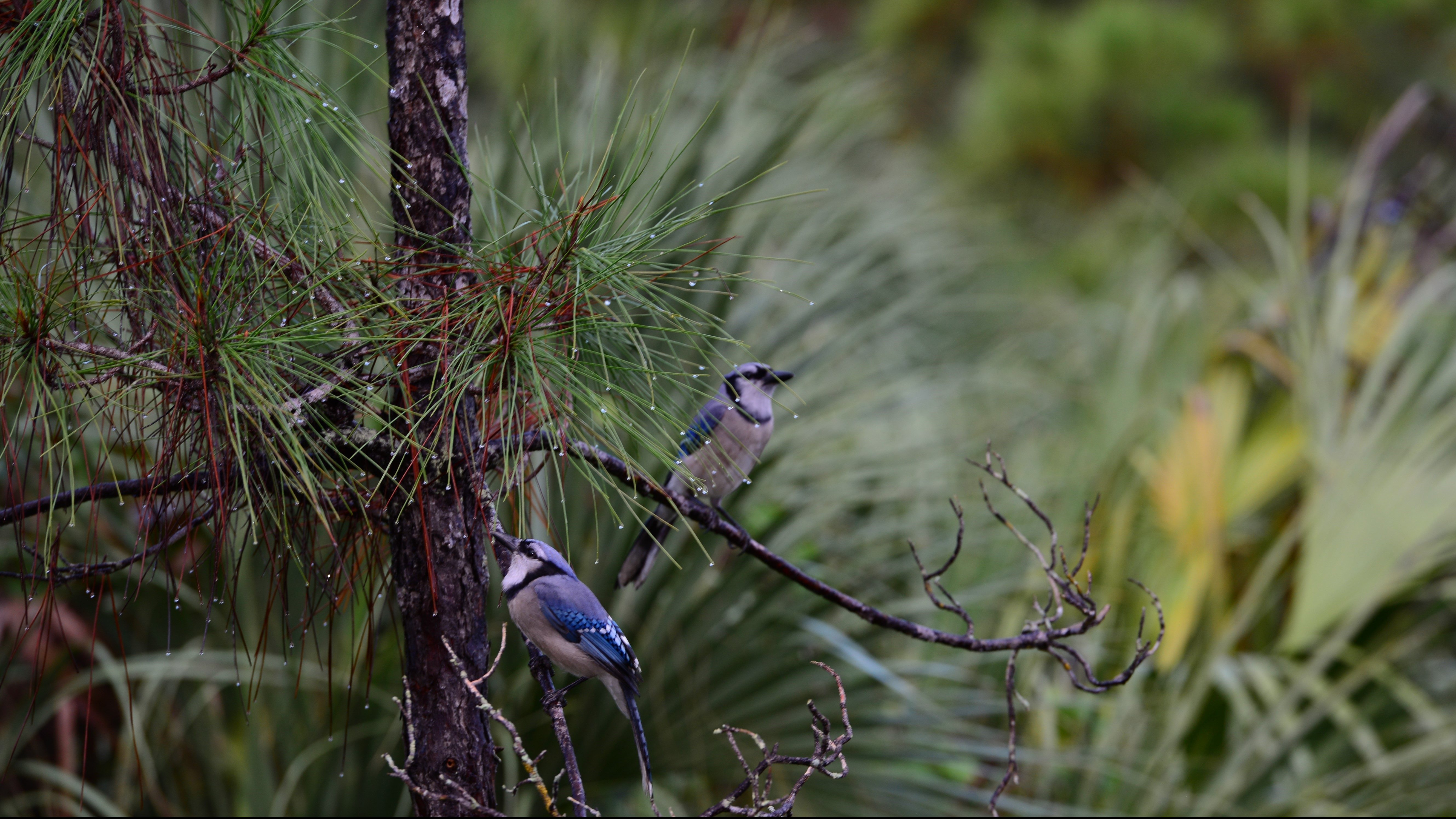 Two blue jays perched on a small branch of a slash pine