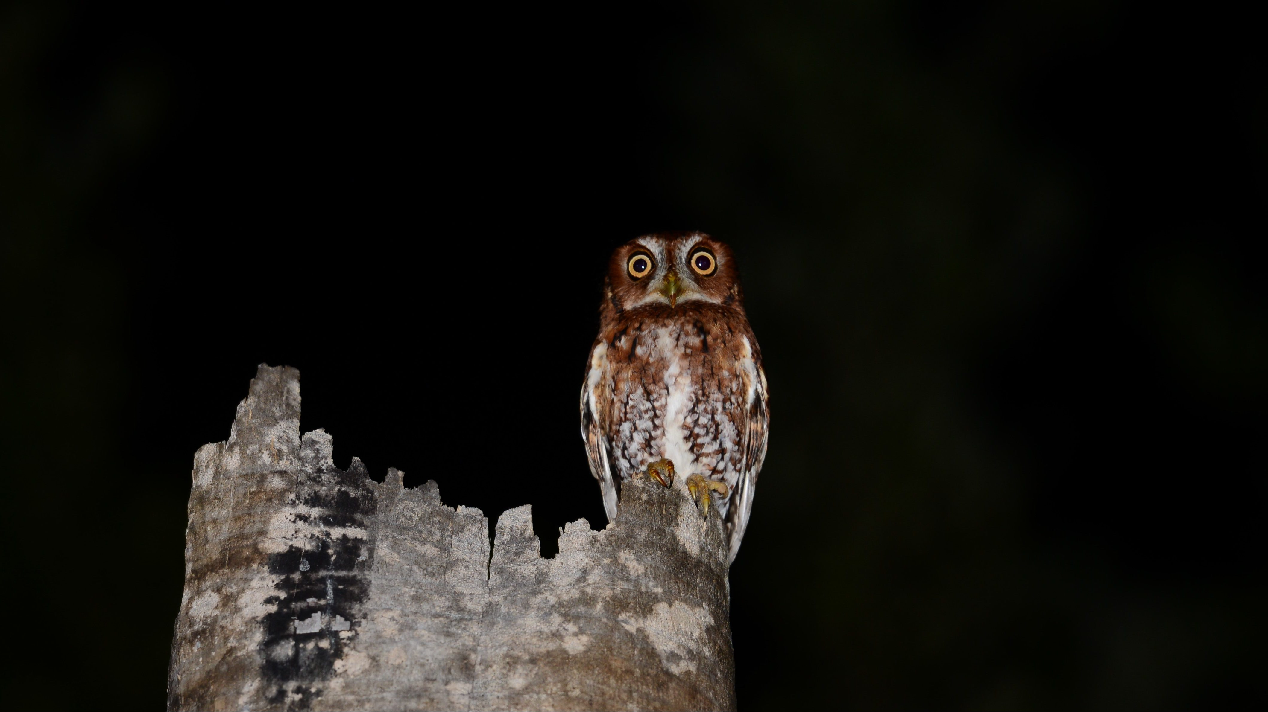 Small owl perched on top of a broken tree trunk at night