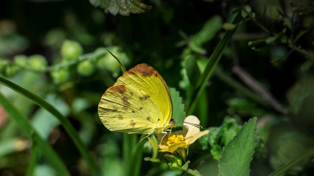 Small Dina Yellow butterfly perched on a tiny flower