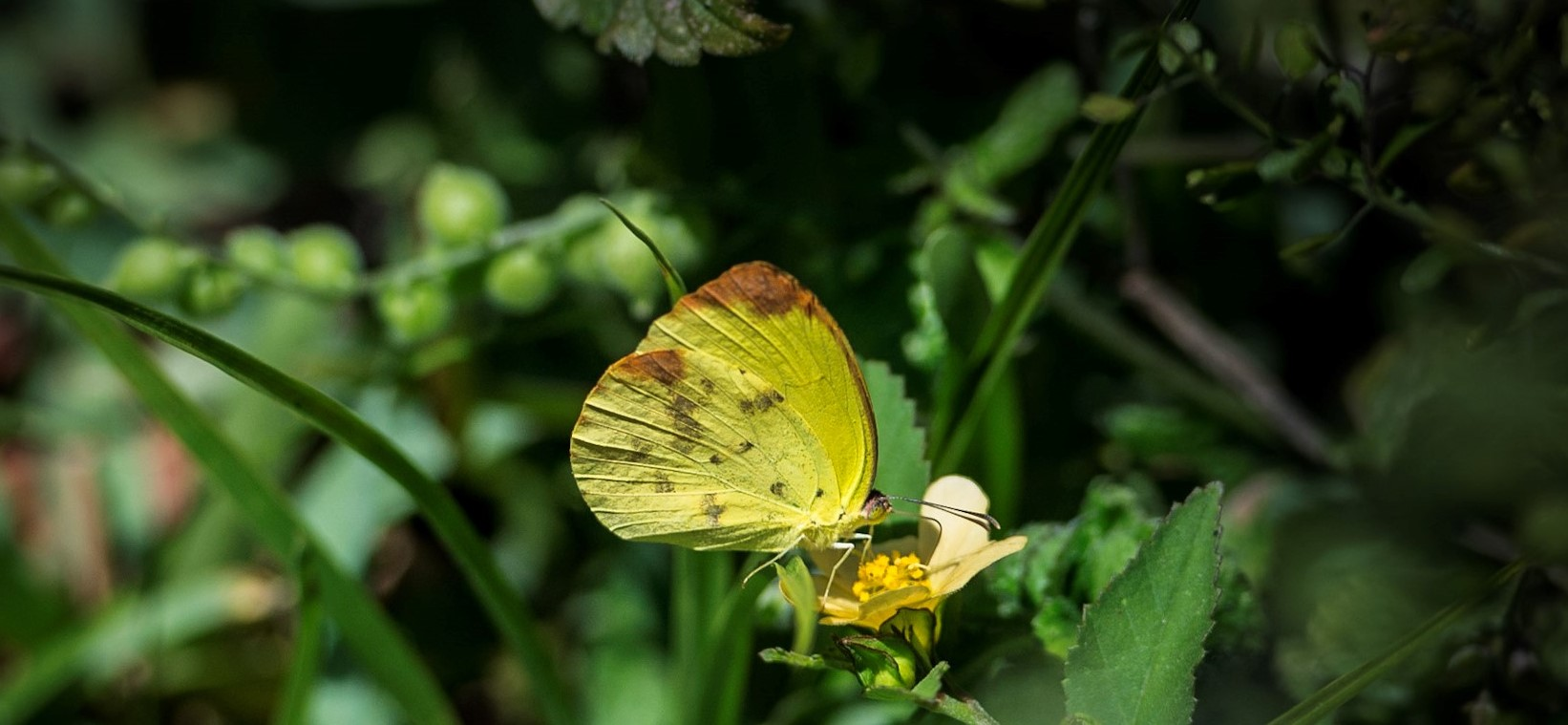 leeringi estate butterfly dina yellow by Elias Horna