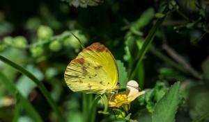 Butterfly Walk Deering Estate Dina Yellow by Elias Horna