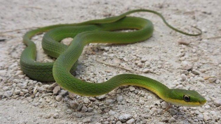 Deering Estate rough green snake herp Photo by Rangel Diaz