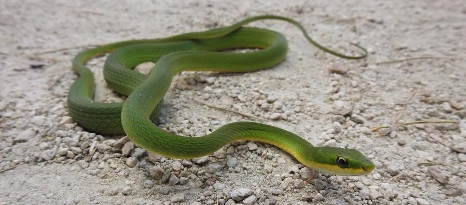 Deering Estate rough green snake herp Photo by Rangel Diaz