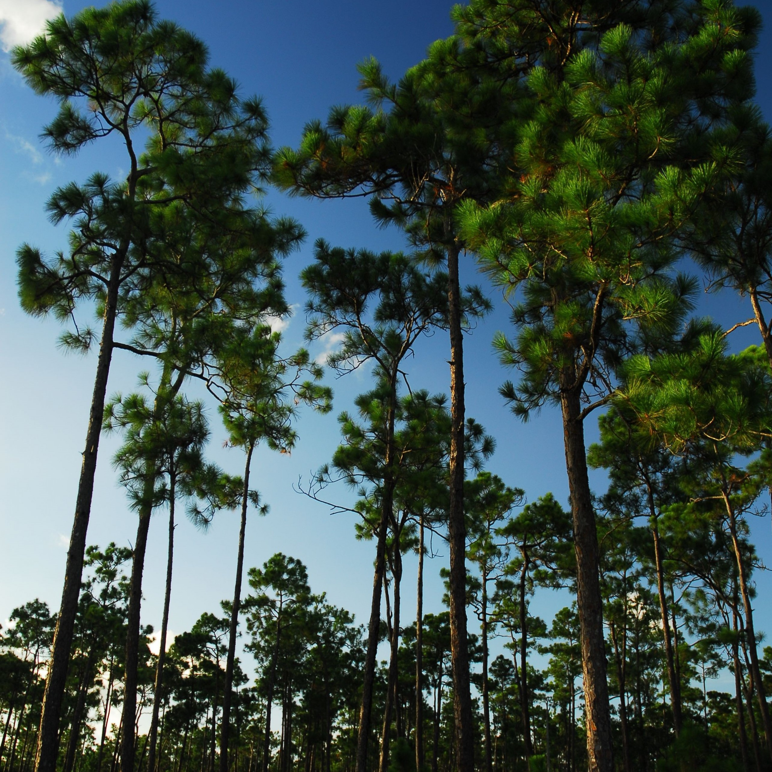 view of the endangered Pine rocklands, a globally imperiled habitat