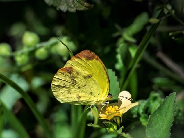 a Dina Yellow Butterfly on a flower at Deering Estate
