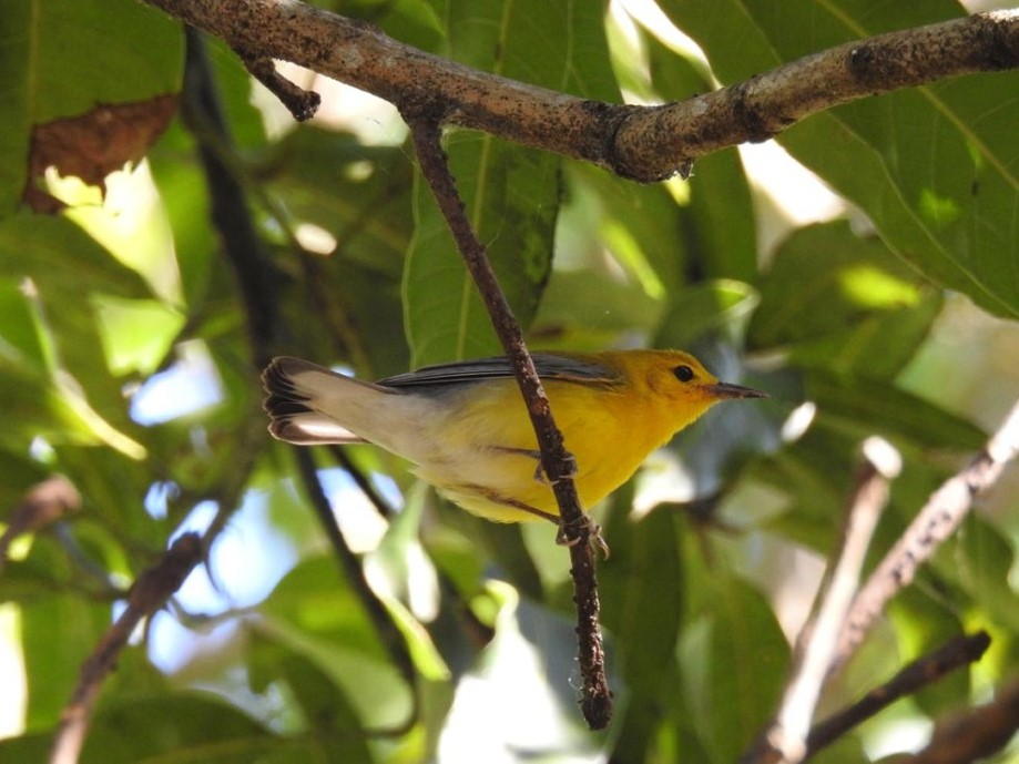 a prothonotary warbler photographed at the deering estate