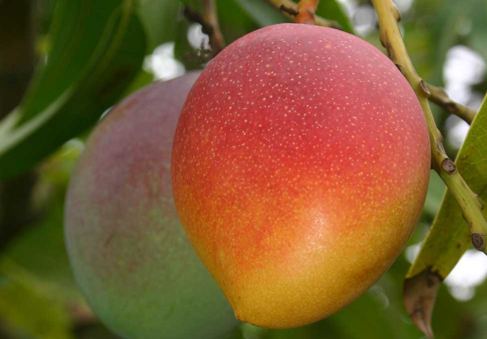 Mangoes at the Deering Estate