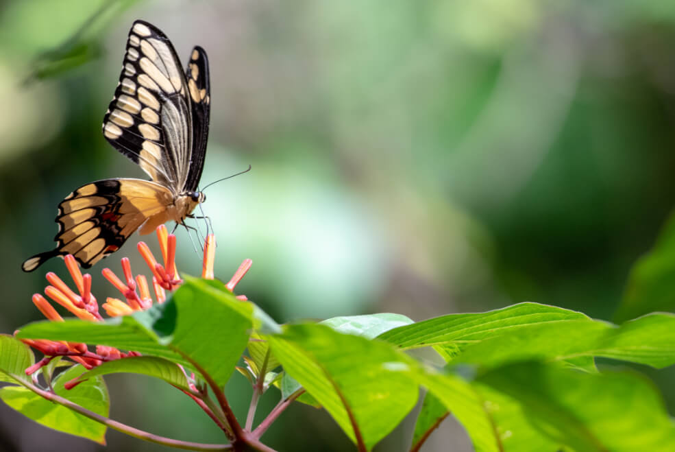 Butterfly in nature to learn about on the virtual field trip at The Deering Estate.
